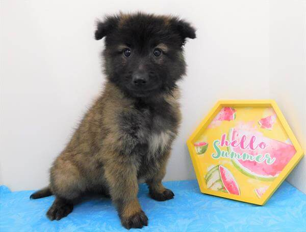 Belgian Tervuren Puppies For Sale