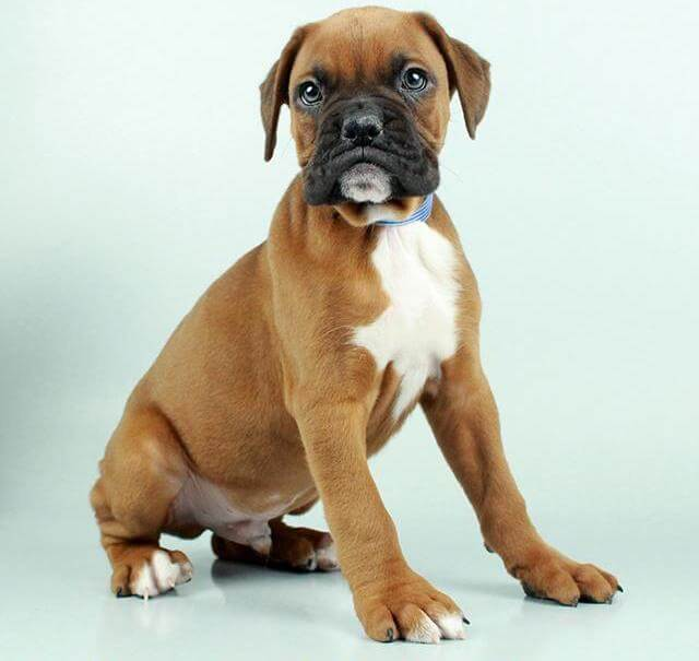Buy Boxer Puppies For Sale In Scotland UK