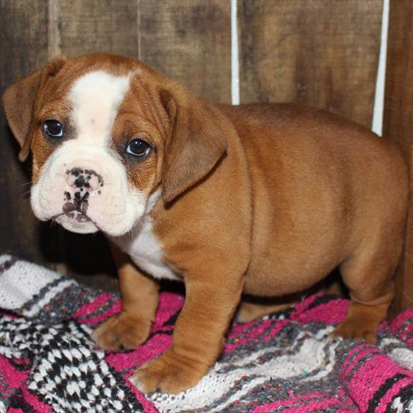 Bugle Puppies For Sale