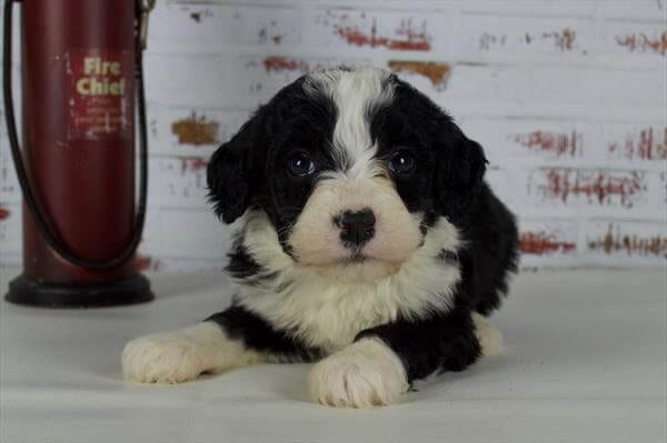 Mini Bernedoodle Puppies For Sale