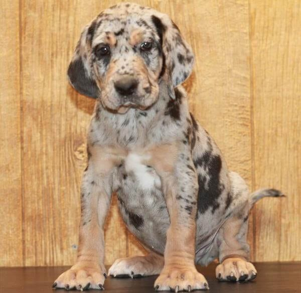American Leopard Hound Puppies For Sale