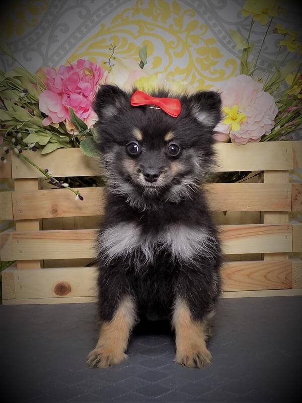 Maltipom Puppies For Sale