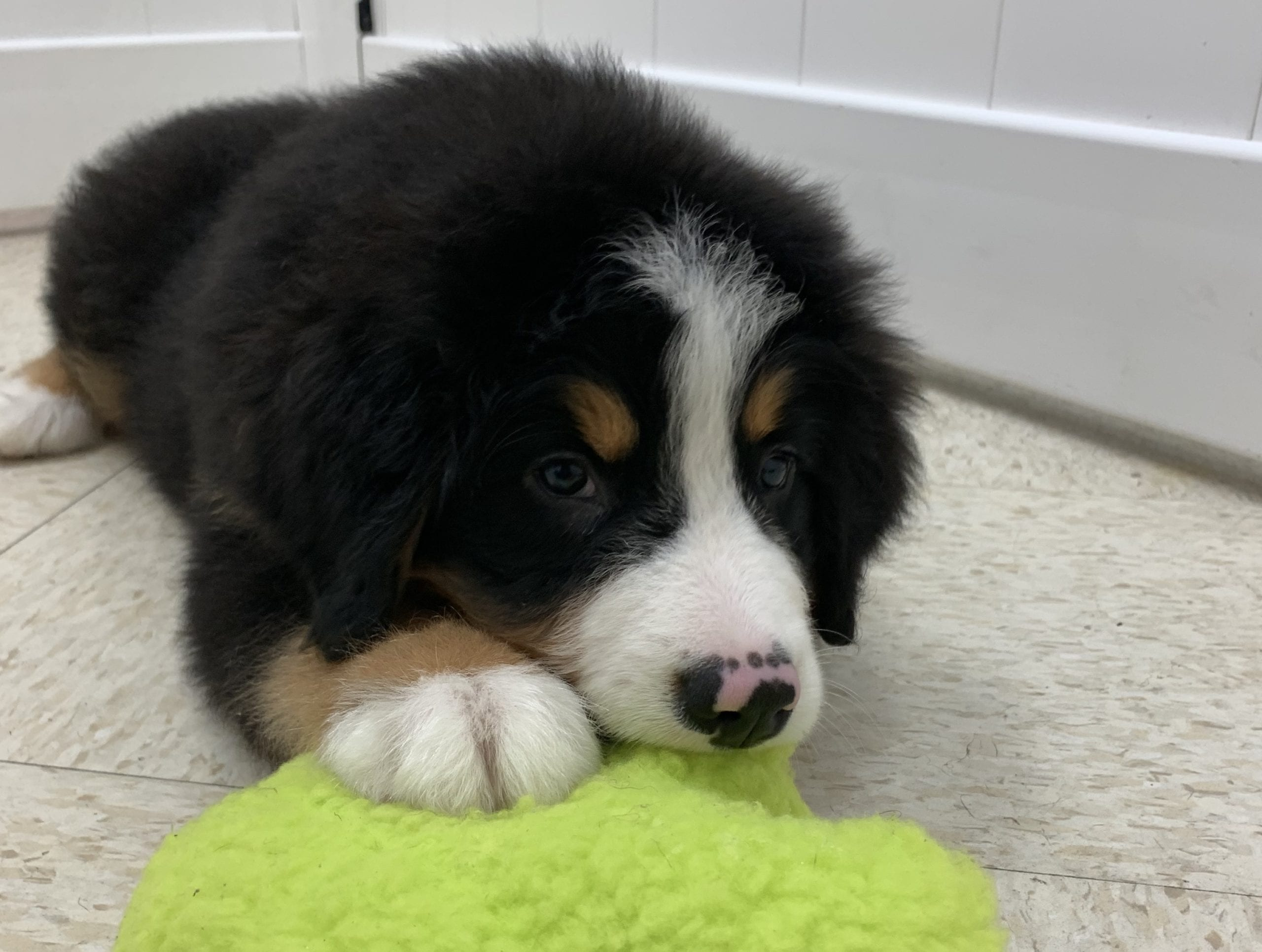 Bernese Mountain Dog M For Sale - Chews A Puppy