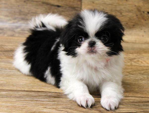 Japanese Chin Puppies For Sale