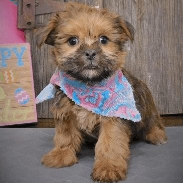 shorkie puppies for sale