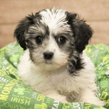 yorkiepoo puppies for sale