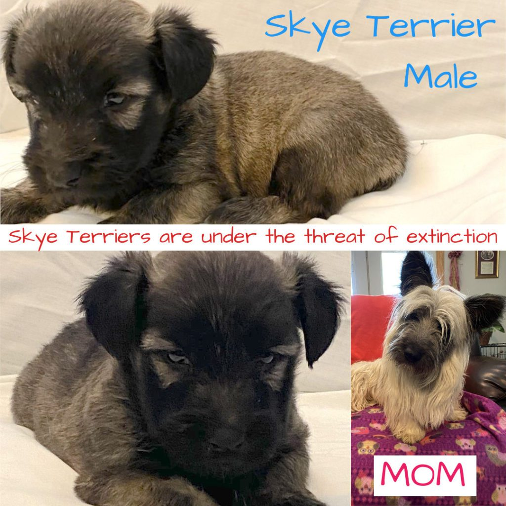 Skye Terrier For Sale - Chews A Puppy
